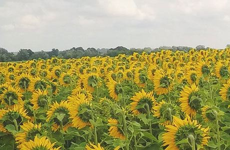 Picture for category Sunflower Oil